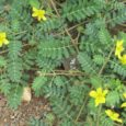 Buzdyganek ziemny rośnie naturalnie w regionach tropikalnych, ale przyjął się również w naszych szerokościach geograficznych