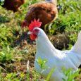 Kurczaki to źródło pełnowartościowego białka w diecie człowieka